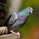 Portrait of pigeon Stock Photo