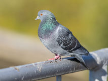 Portrait of pigeon Royalty Free Stock Images