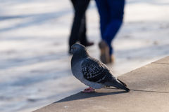 Portrait of a Pigeon in the pedestrian zone Royalty Free Stock Images