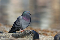 Portrait of a pigeon on a rock Stock Image