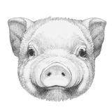 Portrait of Piggy. Hand drawn illustration Royalty Free Stock Photography