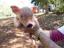 Portrait of a piglet. Stock Image