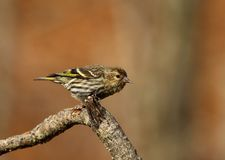 Pine siskin portrait Stock Images