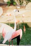 Portrait of a pink flamingo. Stock Photography