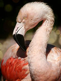 Portrait of a Pink Flamingo. A portrait of a pink flamingo as he poses for the camera royalty free stock photography