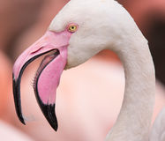 Portrait of a pink flamingo. Royalty Free Stock Photography