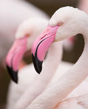 Portrait of a pink flamingo. Stock Images