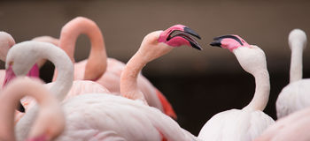 Portrait of a pink flamingo. Stock Photos