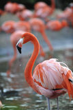Portrait of a pink flamingo with drops.