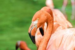 Portrait of pink flamingo Royalty Free Stock Photos