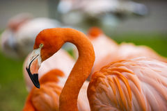 Portrait of a pink flamingo Stock Image