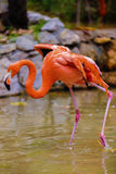 Portrait of a pink flamingo Royalty Free Stock Photo
