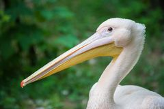 Portrait of a pink pelican Stock Photos