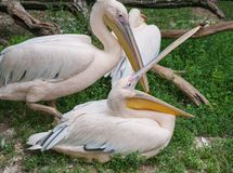 Portrait of a pink pelican Royalty Free Stock Photo