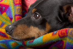 Portrait of a pinscher Stock Photo