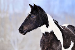 Portrait of pinto horse in winter Stock Photo