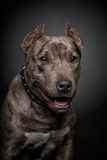 Portrait of a pit bull Royalty Free Stock Photography