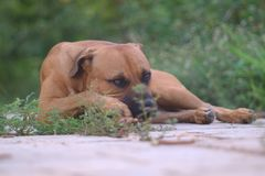 Portrait of pit bull - boerboel - german shepherd mixed breed dog against green blurred background, Luanda stock images