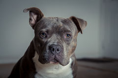 Portrait of a pit bull Royalty Free Stock Image