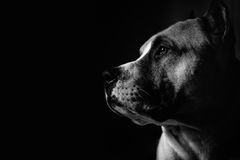 Portrait of a pit bull. Pit bull on a dark background Royalty Free Stock Photo