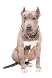 Portrait of a  pit bull Stock Photos