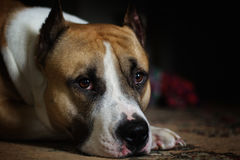 Portrait of a pit bull. Pit bull lying down looking into the eyes Royalty Free Stock Image