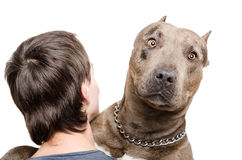 Portrait of a pit bull on the shoulder of a young man. On white background Royalty Free Stock Photo