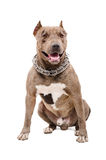Portrait of a pit bull. Sitting isolated on white background Stock Image