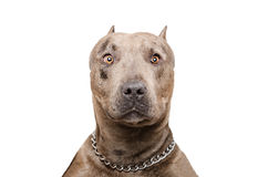 Portrait of a pitbull. Isolated on white background royalty free stock image