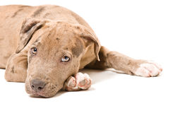 Portrait of a pitbull puppy Royalty Free Stock Photos