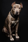 Portrait of a pitbull puppy Royalty Free Stock Photo