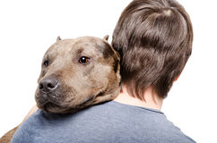 Portrait of a pitbull on the shoulder of its owner Royalty Free Stock Images