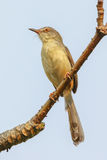 Portrait of Plain Prinia (Prinia inornata) Royalty Free Stock Photo