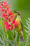 Portrait of Plain Sunbird Royalty Free Stock Image