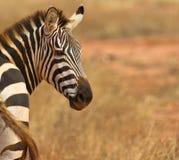 A Portrait of a  Plain´s or Common Zebra Stock Photos