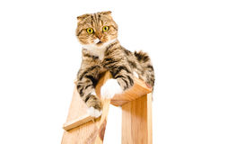 Portrait of a playful cat Scottish Fold Royalty Free Stock Images