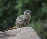 Portrait of playful and curious suricates in a small open resort Stock Photography