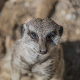 Portrait of playful and curious suricates in a small open resort Royalty Free Stock Photos