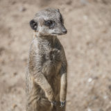 Portrait of playful and curious suricates in a small open resort Royalty Free Stock Photo