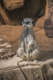 Portrait of playful and curious suricates in a small open resort Royalty Free Stock Images