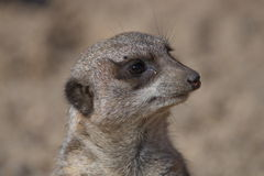 Portrait of playful and curious suricates in a small open resort Stock Images