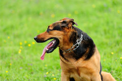 Portrait of playful dog on green grass Royalty Free Stock Photography