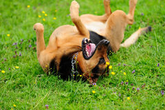 Portrait of playful dog on green grass Stock Photos