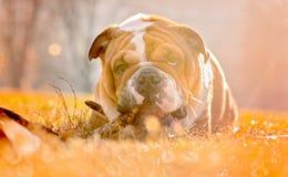 Portrait of playful English bulldog Stock Images
