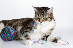 Playful Cat Stock Photography