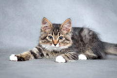 Portrait of the playful kitten Stock Image