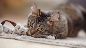 Portrait of the playing domestic cat with yellow eyes Stock Photography