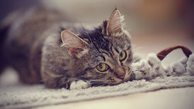 Portrait of the playing domestic cat with yellow eyes Stock Images
