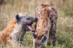 Portrait playing two hyenas (Crocuta crocuta), Stock Images