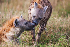 Portrait playing two hyenas (Crocuta crocuta), Stock Image